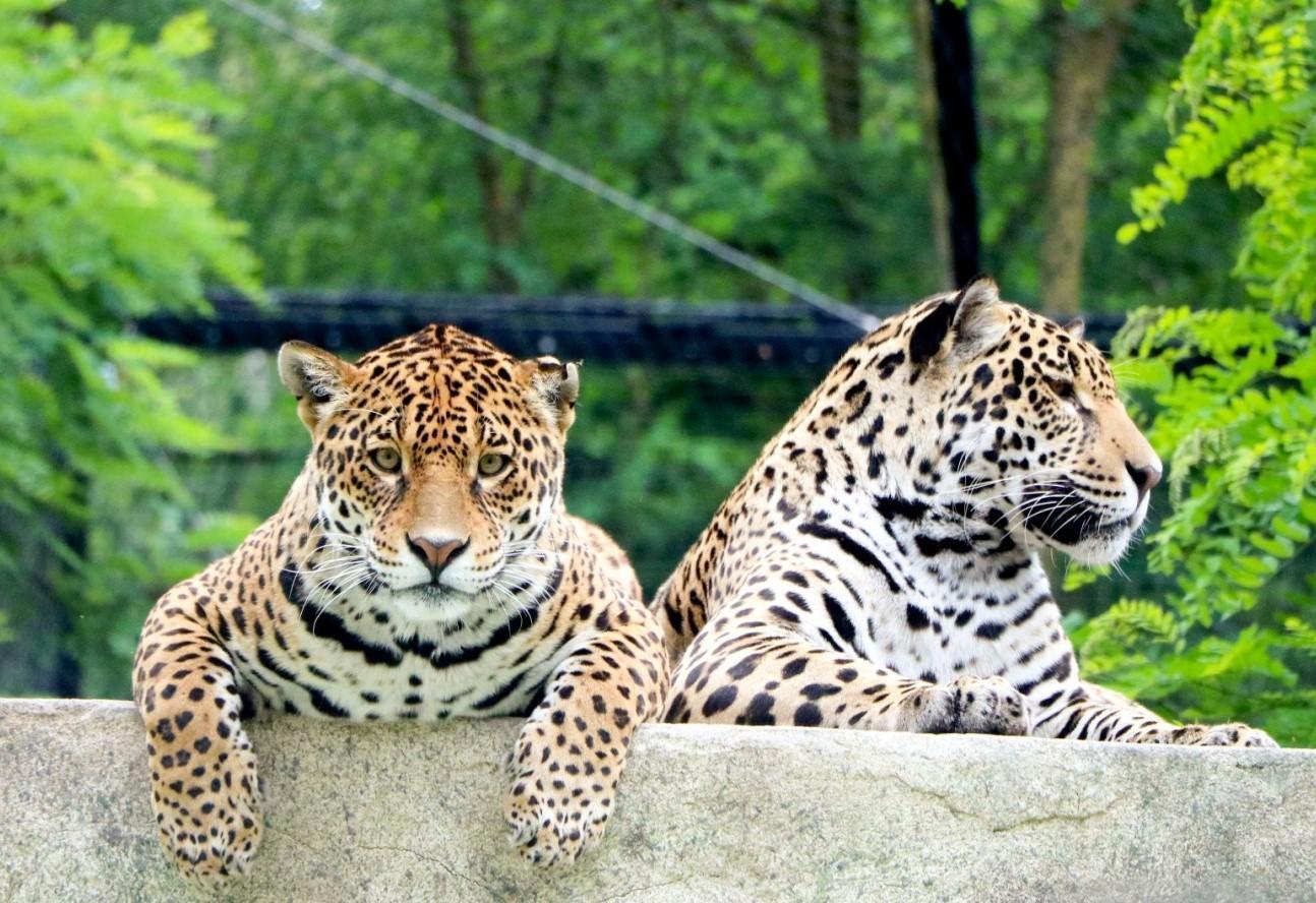 Zoo pantheres
